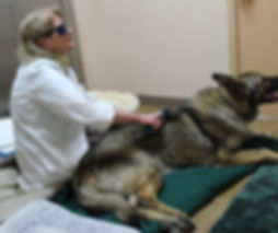 Smokey the dog is having laser therapy for back pain