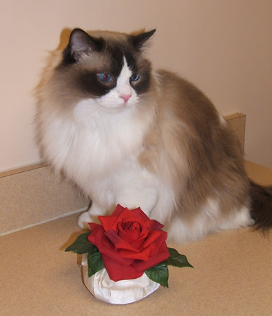 Beautiful  ragdoll cat!