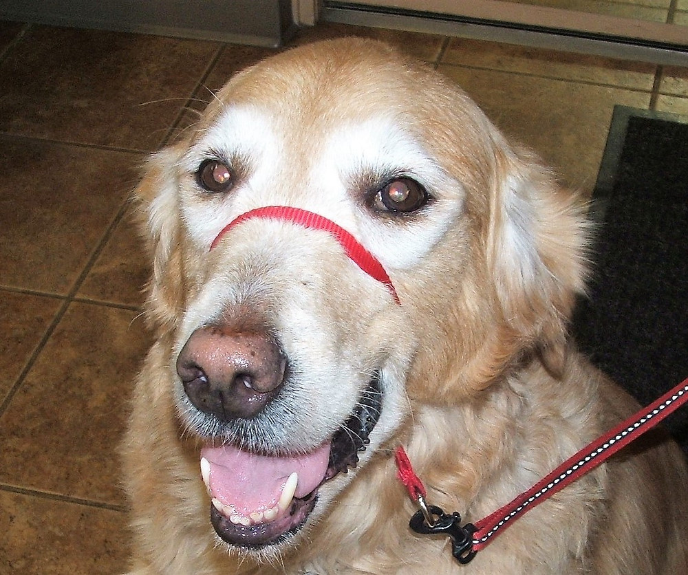Emma the Golden Retriever has cloudy eyes caused by nuclear sclerosis