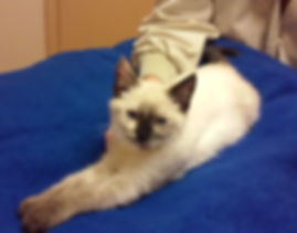 Cheesecake the cat is relaxing during an acupuncture session with Dr. Judy McBeth