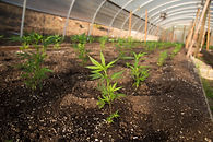 Hemp GreenHouse.jpg