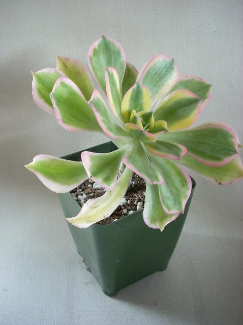 Aeonium decorum 'Sunburst '