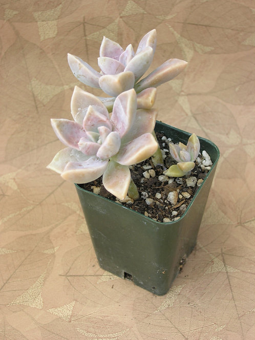 "Graptopetalum paraguayense ""Ghost Plant"""