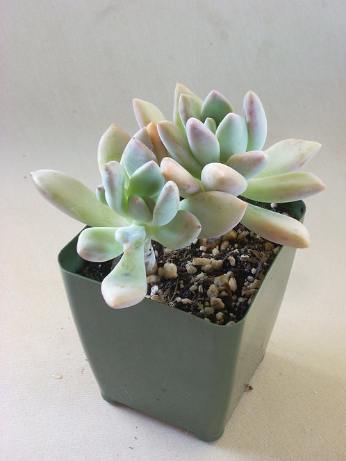 Graptoveria opalina