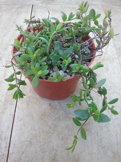 """Kalanchoe manginii """"Chandelier Plant"""""""