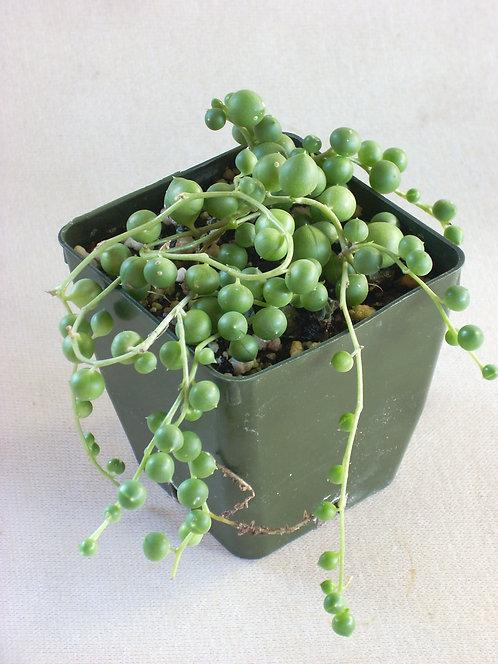 """Senecio rowleyanus """"String of Pearls"""""""