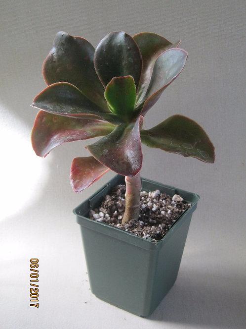Echeveria fasciculata