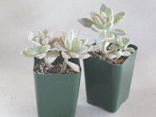 Graptosedum 'Ghosty'