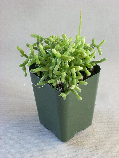 """Rhipsalis cereuscula """"Wickerware Cactus"""""""