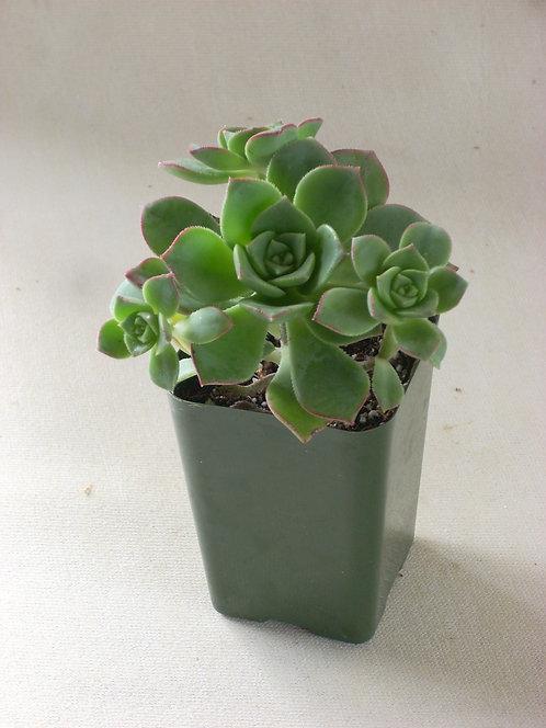 "Aeonium haworthioides ""Green Pinwheel"""