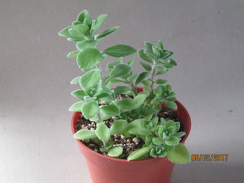"Plectranthus tomentosa ""Vicks Plant"""