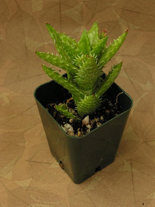 "Aloe zanzibarica ""Golden Stars"""