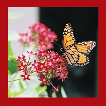 Live Butterfly Release