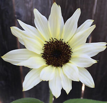 white sunflower.PNG