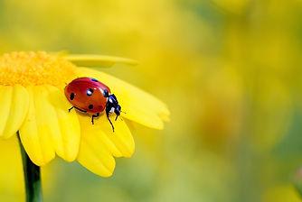 Frühling_Marienkäfer auf Blume.jpg