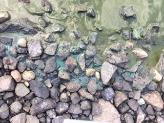 Blue-Green Algae basics