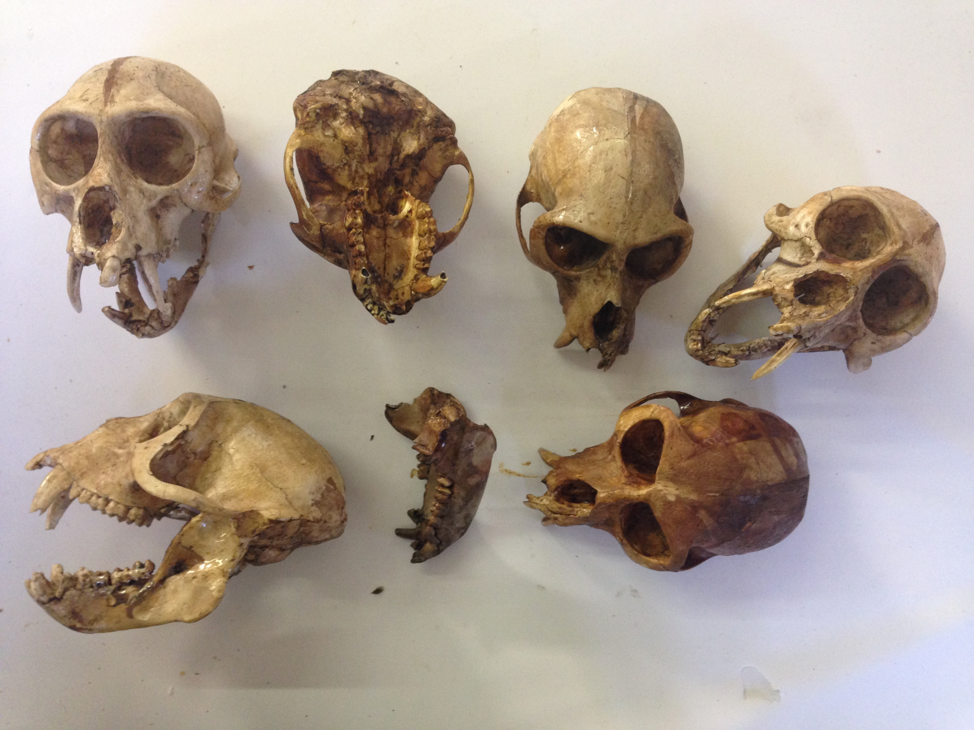 Monkey replica skulls
