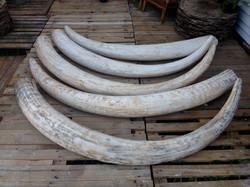Fabricated elephant tusks