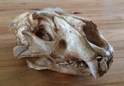 Replica lion skull