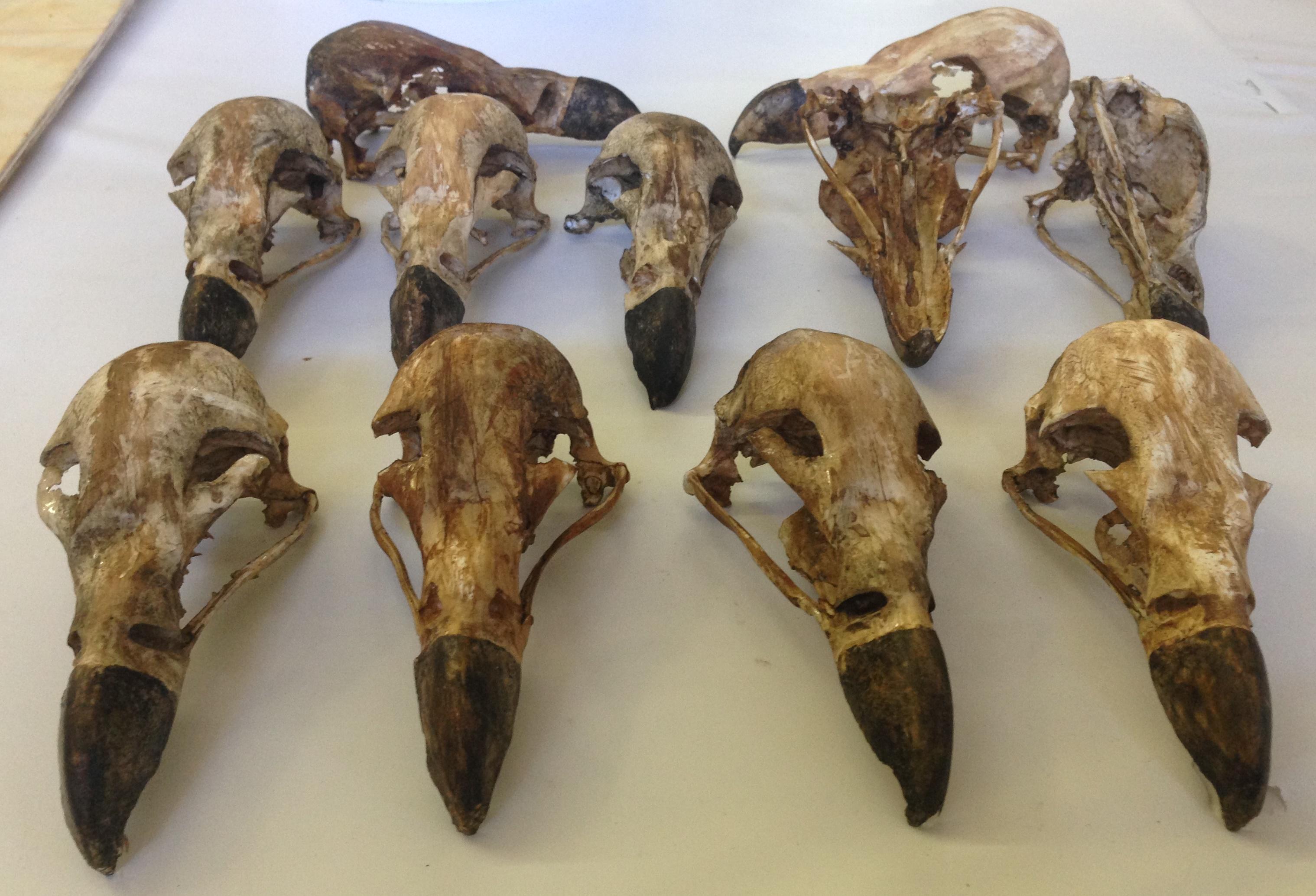 Replica skulls