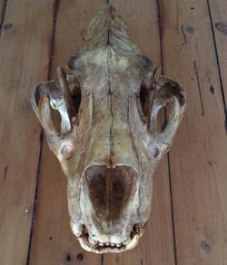Lion skull replica