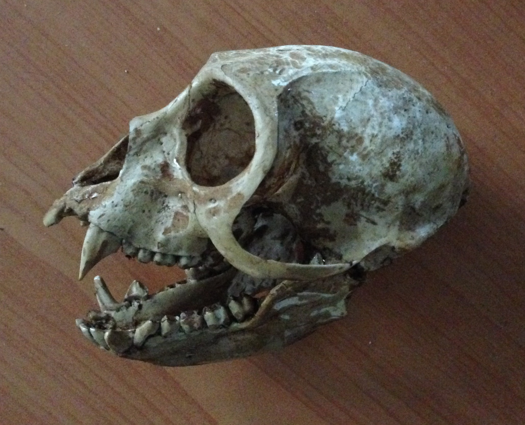 Replica monkey skull