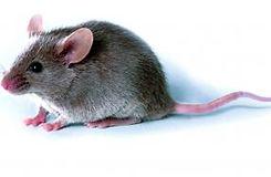 comment-lutter-contre-les-rats-et-les-so