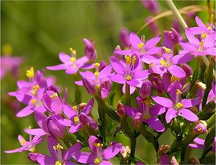 Fleurs de Bach - Naturopthie Angers