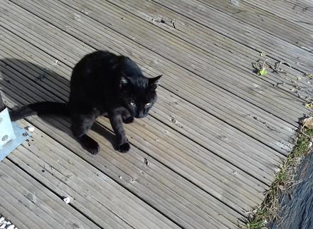 Chat trouvé à Artigueloutan (64)