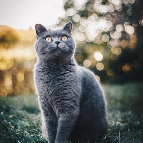 L'identification chez le chat