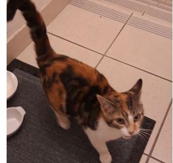 Chat trouvé à Pommerit le Vicomte (22)
