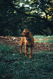 brown-dog-curious-about-something-301018
