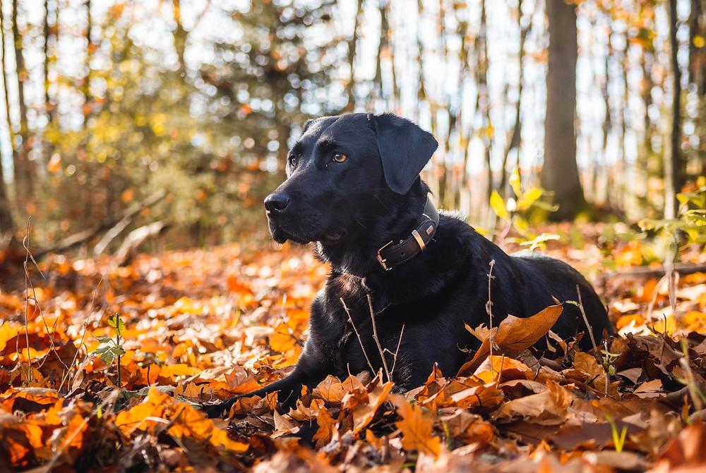 Labrador noir dans les bois
