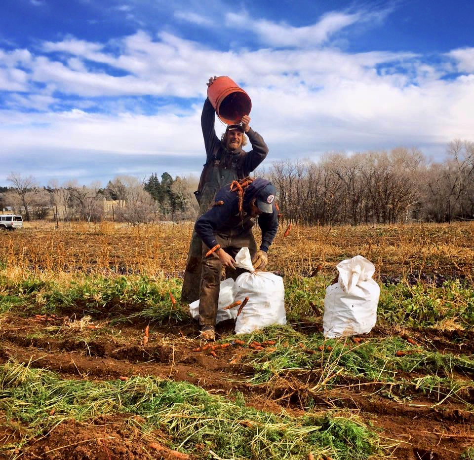 Organic Carrot Harvest