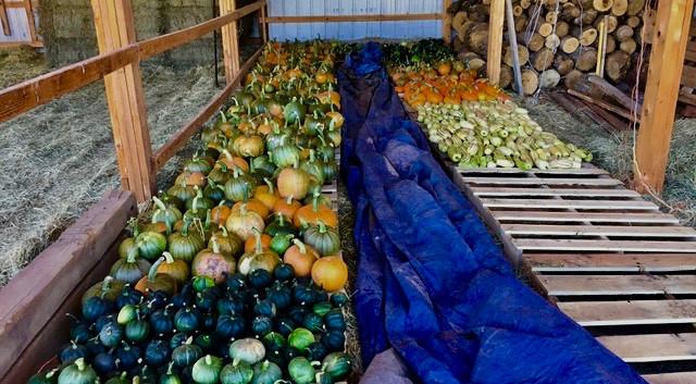 Organic Squash Harvest