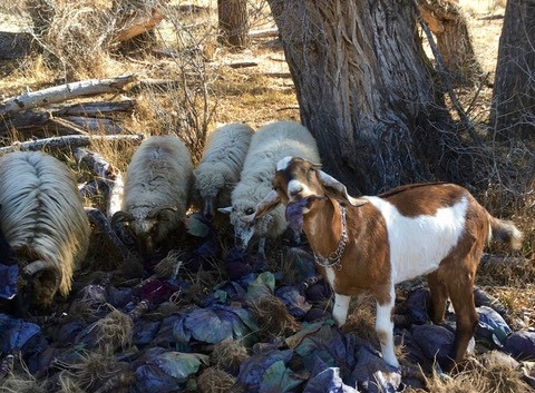 Red the Goat and Sheep