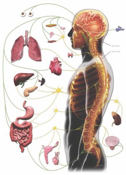 Centro Quiropráctico Corral Sistema nervioso y Salud