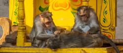 monkeysgrooming