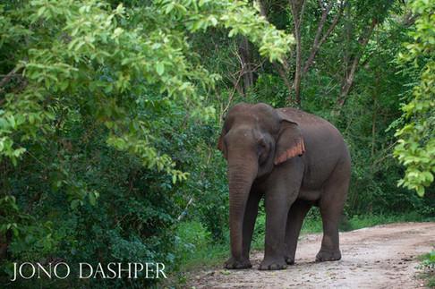 Wild Elephant Wandering into Camp