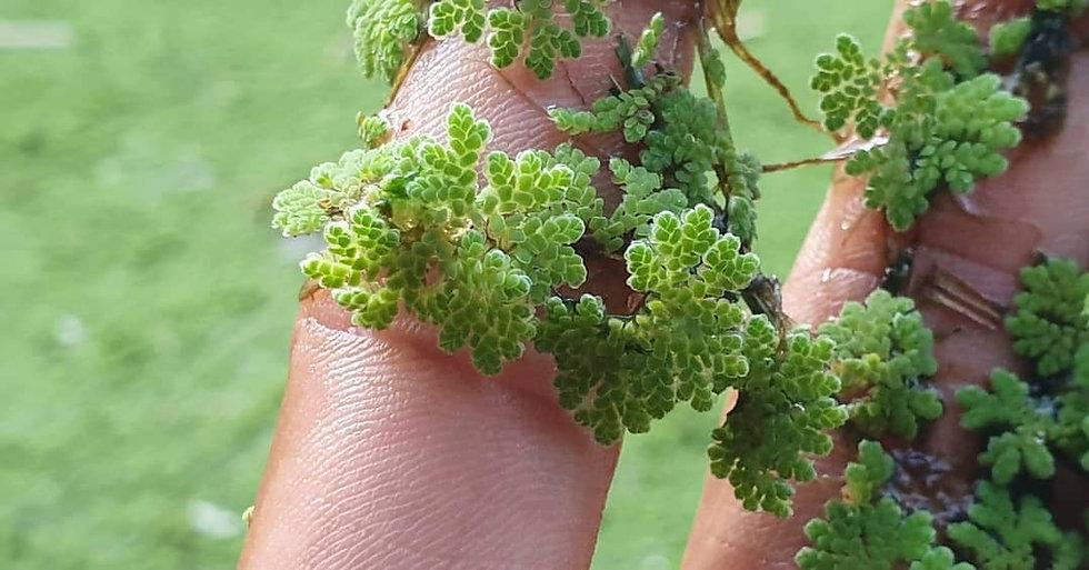 Finger plant.jpg