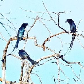 Racket-Tailed Drongos
