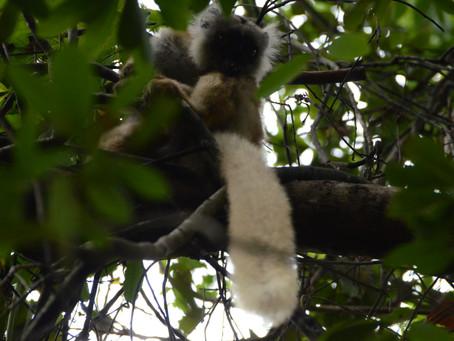 Lokobe Nationl Park - Lemur