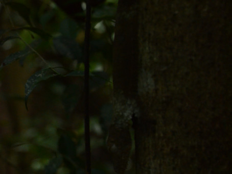 Lokobe National Park - Gecko?