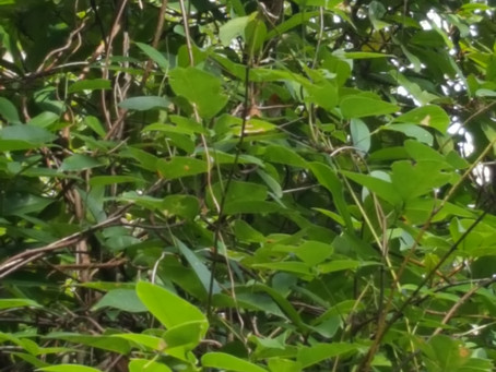 Lokobe National Park - The Boa