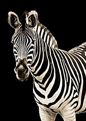 zebra_PNG8961.png