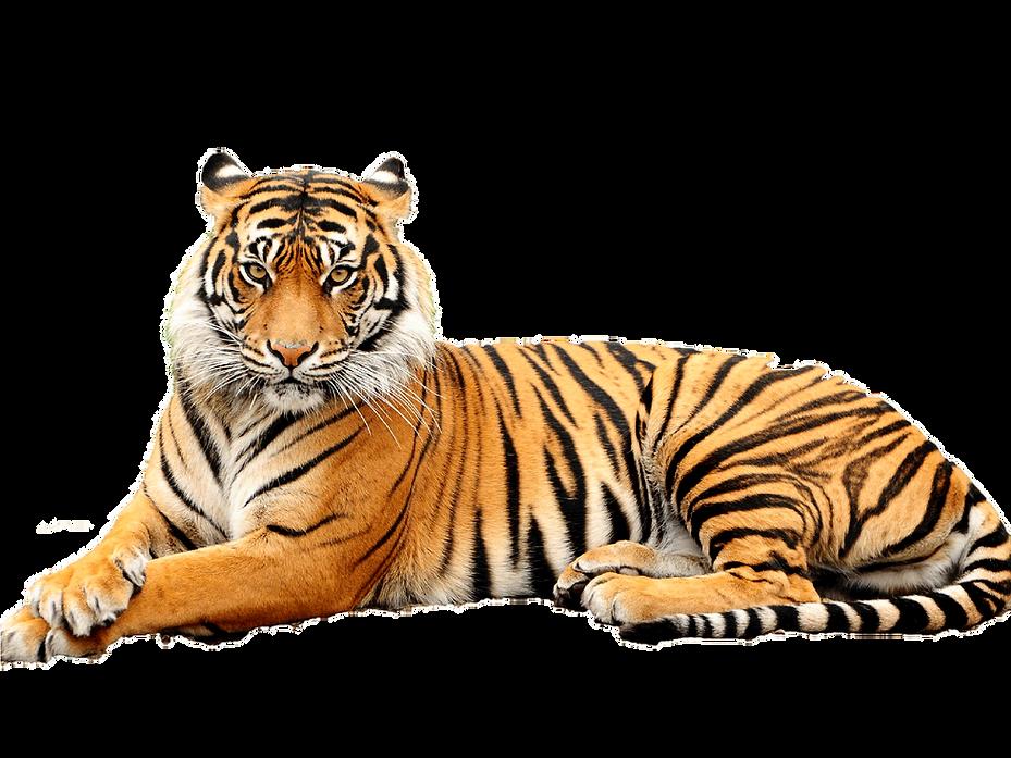 Bengal-Tiger-Transparent-Background.png