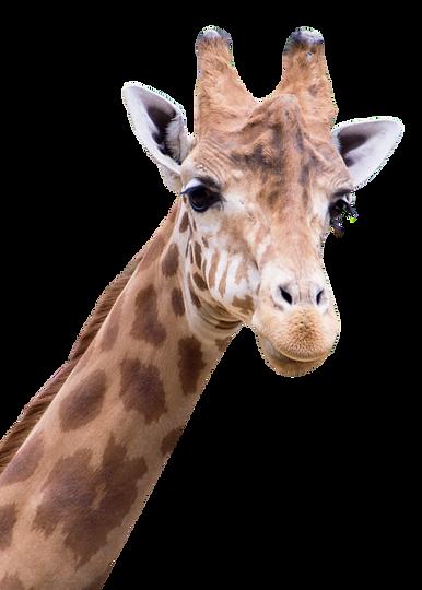 PNGPIX-COM-Giraffe-PNG-Transparent-Image