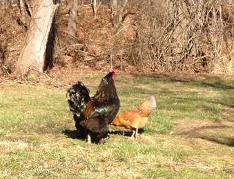 Willis and Hen