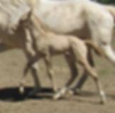 Pearl's 17 colt Walking L.JPG