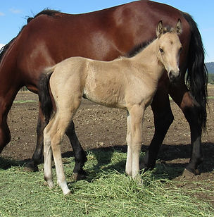 Pixie's Filly R.jpg